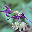 Taxonomic study on Japanese <i>Salvia</i> (Lamiaceae): Phylogenetic position of <i>S. akiensis</i>, and polyphyletic nature of S. lutescens var. intermedia