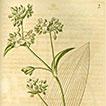 The correct typification of <i>Tradescantia crassula</i> (Commelinaceae)