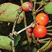 <i>Macrosolen bidoupensis</i> (Loranthaceae), a new species from Bidoup Nui Ba National Park, southern Vietnam