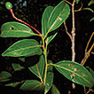 A new species of <i>Cinnamomum</i> (Lauraceae) from the Bladen Nature Reserve, southern Belize
