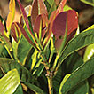 Five new species of <i>Syzygium</i> (Myrtaceae) from Sulawesi, Indonesia