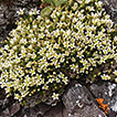 Two new species of <i>Sabulina</i> (Caryophyllaceae) from Washington State, U.S.A.