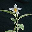 A revision of the <i>Solanum elaeagnifolium</i> clade (Elaeagnifolium clade; subgenus Leptostemonum, Solanaceae)