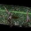 Pteris latipinna sp. nov. (Pteridaceae), ...