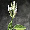 Bituminaria antiatlantica (Psoraleeae, ...
