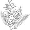 A new disjunct Dendrothrix (Euphorbiaceae, ...
