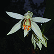 Coelogyne magnifica (Orchidaceae), a ...