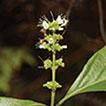 Premna grandipaniculata (Lamiaceae, Premnoideae), ...