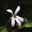 Lobelia hongiana (Campanulaceae), a new ...