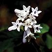 Ophiorrhiza guizhouensis (Rubiaceae), ...