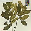 Carpinus tibetana (Betulaceae), a new ...