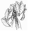Recognition of the genus Thaumatophyllum ...