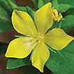 Lysimachia tianmaensis (Primulaceae), ...