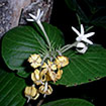 Four new endemic genera of Rubiaceae ...