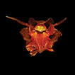 Coelogyne victoria-reginae (Orchidaceae, ...