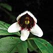 Hemiboea suiyangensis (Gesneriaceae): ...