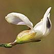 Psoralea forbesiae (Psoraleeae, Fabaceae), ...