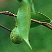 The medicinal plants of Myanmar