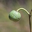 Manihot takape sp. nov. (Euphorbiaceae), ...