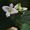 Begonia medogensis, a new species of ...