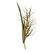 Phylogeny of Muhlenbergia subg. Pseudosporobolus, ...