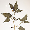 A new black nightshade (Morelloid clade, ...