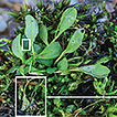 Eutrema nanum (Brassicaceae), a new species ...