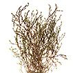 Phryna hamzaoglui Koç & Budak (Caryophyllaceae),  ...