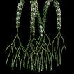 Phlegmariurus vanuatuensis (Huperzioideae, ...