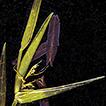 A new genus of temperate woody bamboos ...