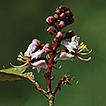 Two new species of Hiptage (Malpighiaceae) ...