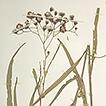 Vernonia subgenus Austrovernonia, a new ...