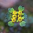 Chrysosplenium ramosissimum Y.I.Kim & ...