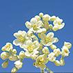Haplophyllum ermenekense (Rutaceae), ...