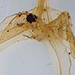 Thismia sumatrana (Thismiaceae), a new ...