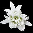 A new genus of Compositae (Eupatorieae, ...