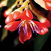 Medinilla theresae (Melastomataceae), ...
