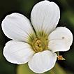 Taxonomic note of Parnassia (Celastraceae) ...