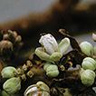 New species of Paullinia (Sapindaceae) ...