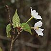 Taxonomic reconsideration of Prunus veitchii ...