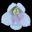 Senyumia granitica (Gesneriaceae) from ...