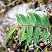 Revision of Polygonatum (Asparagaceae, ...