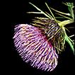 Cirsium tatakaense (Compositae), a new ...
