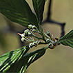 Sorbus lushanensis, a new species of ...