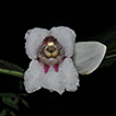 Hemiboea albiflora, a new species of ...