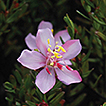 A new species of Microlicia (Melastomataceae): ...