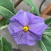 Solanum plastisexum, an enigmatic new ...