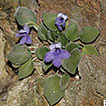 Four new species of Gesneriaceae from ...