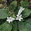 Spiradiclis tubiflora (Rubiaceae), a ...