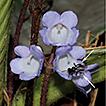Codonoboea (Gesneriaceae) in Terengganu, ...